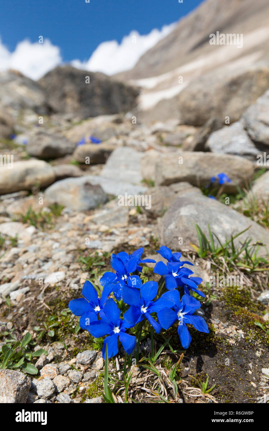 Bavarian gentian (Gentiana bavarica) in flower on mountain slope, Hohe Tauern National Park, Austrian Alps, Carinthia, Austria - Stock Image