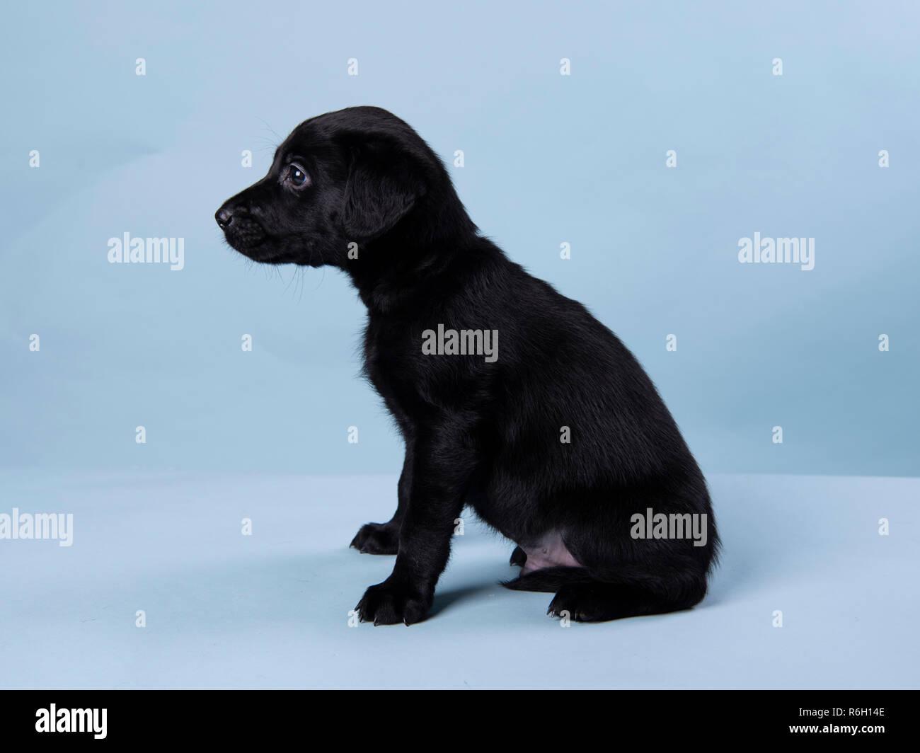 6 Week Old Black Labrador Puppy Stock Photo Alamy