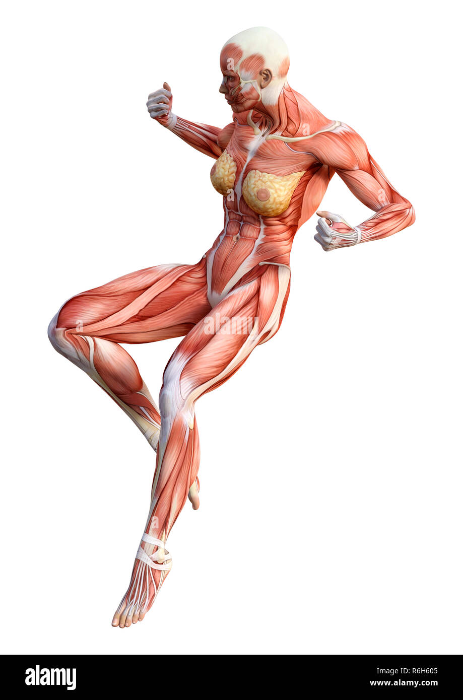 3d Rendering Female Anatomy Figure On White Stock Photo 227800613