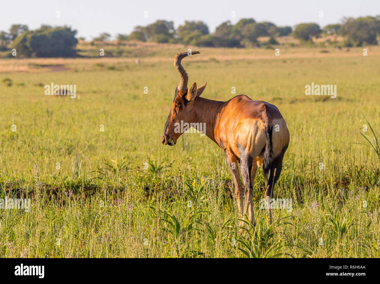 A red hartebeest grazes in the southern African wilderness image with copy space in landscape format - Stock Image