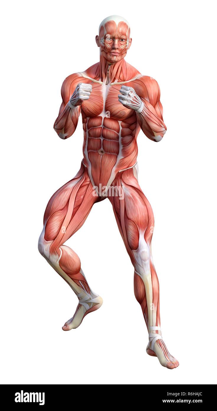 3d Rendering Male Anatomy Figure On White Stock Photo 227804260 Alamy