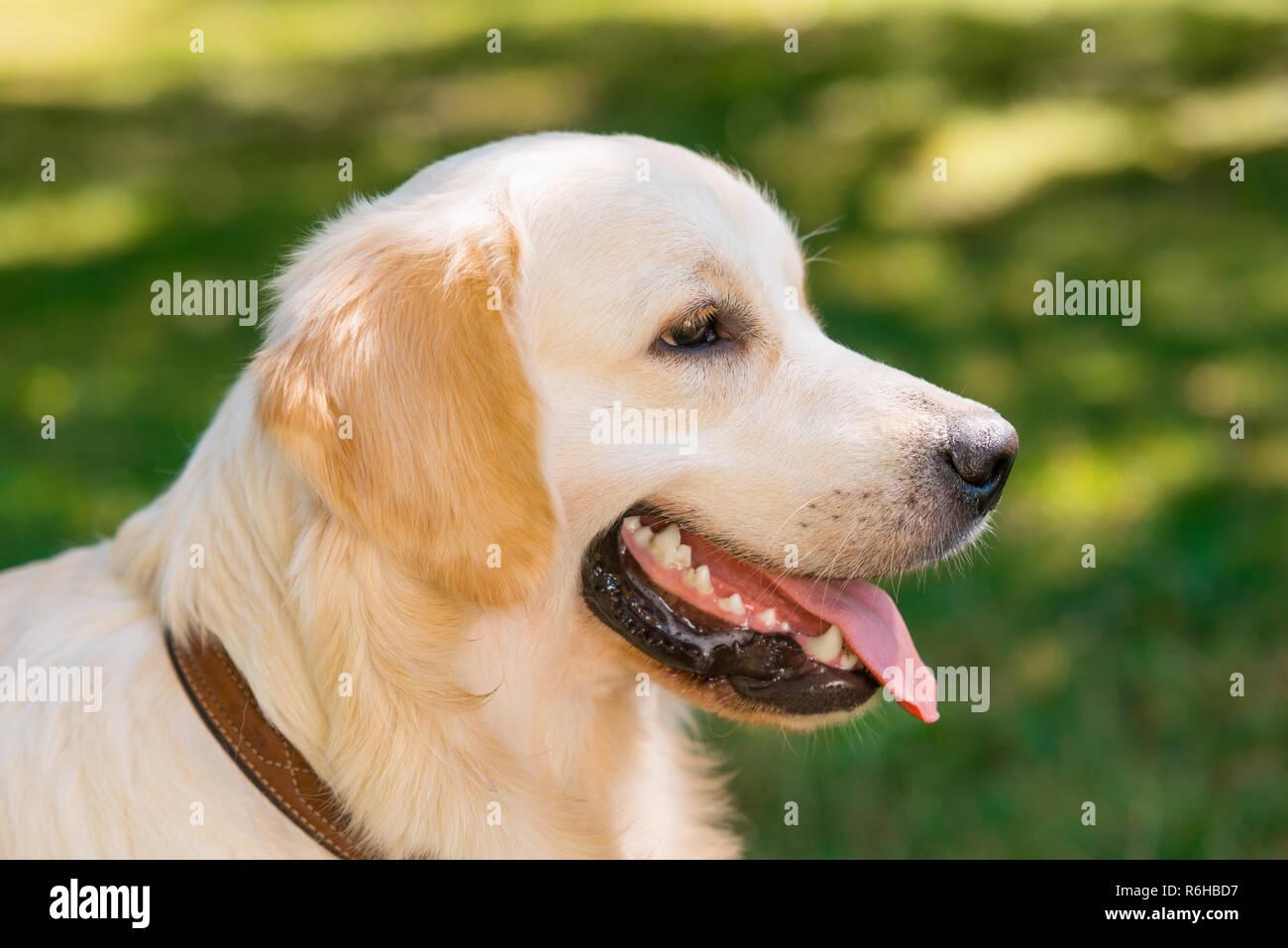 Golden retriever dog profile shot - Stock Image
