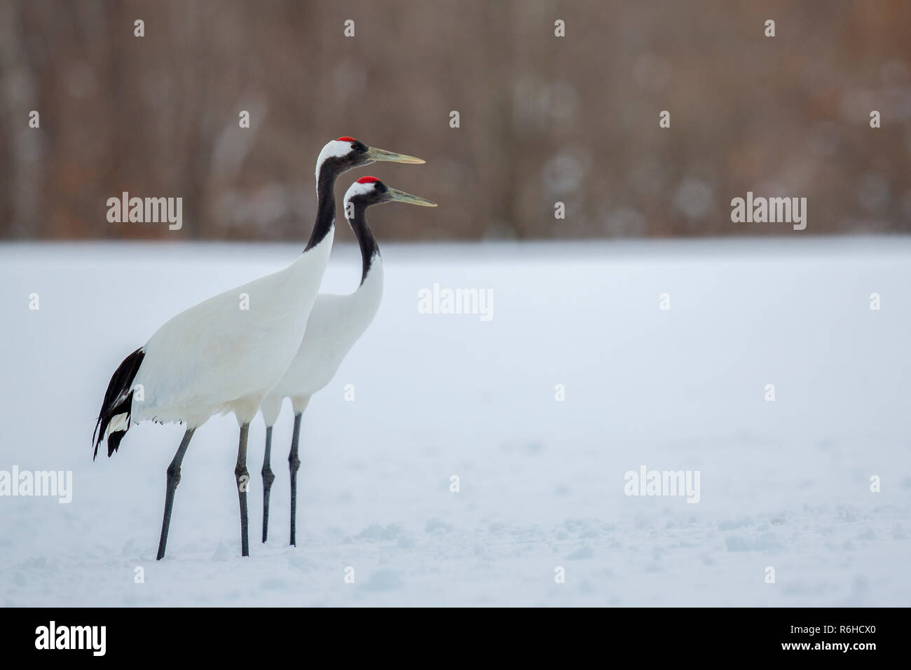 Red-Crowned crane or Grus japonensis or Tancho pair dancing in Hokkaido Japan during winter migration - Stock Image