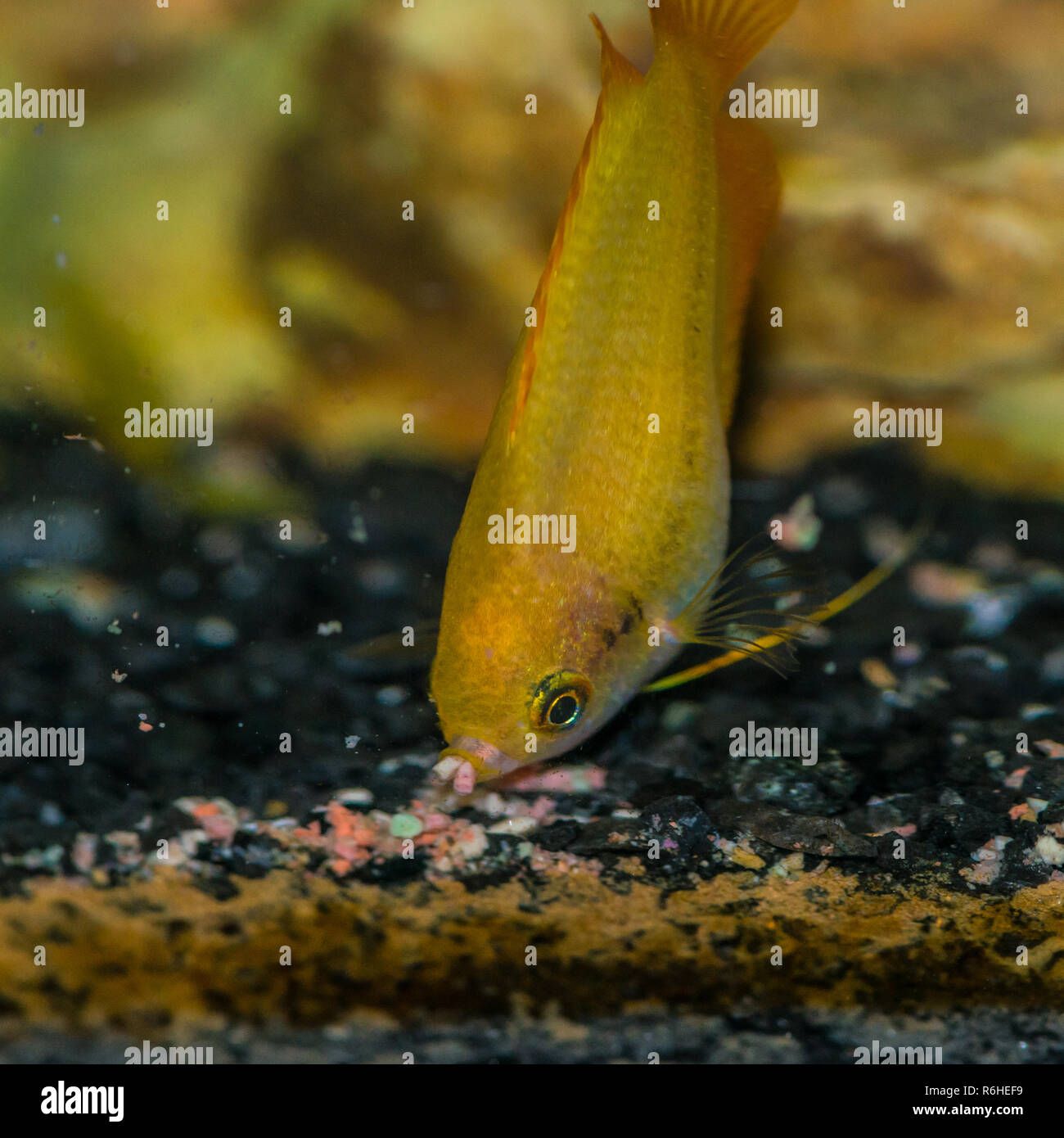 A macro shot of a feeding gold honey gourami tropical fish. - Stock Image