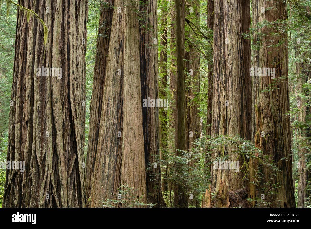 Giant redwood trees along Cal Barrel Road in Prairie Creek Redwoods State Park, California. - Stock Image