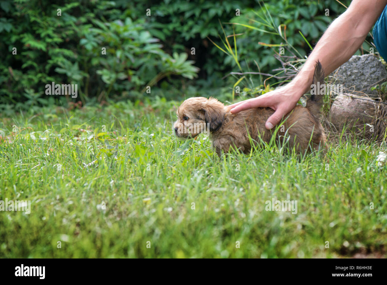 Little, lovely, fluffy, cute brown puppy playing outdoors with owner, obediently walking the first steps. Happy dog in the park or garden. Concept of - Stock Image