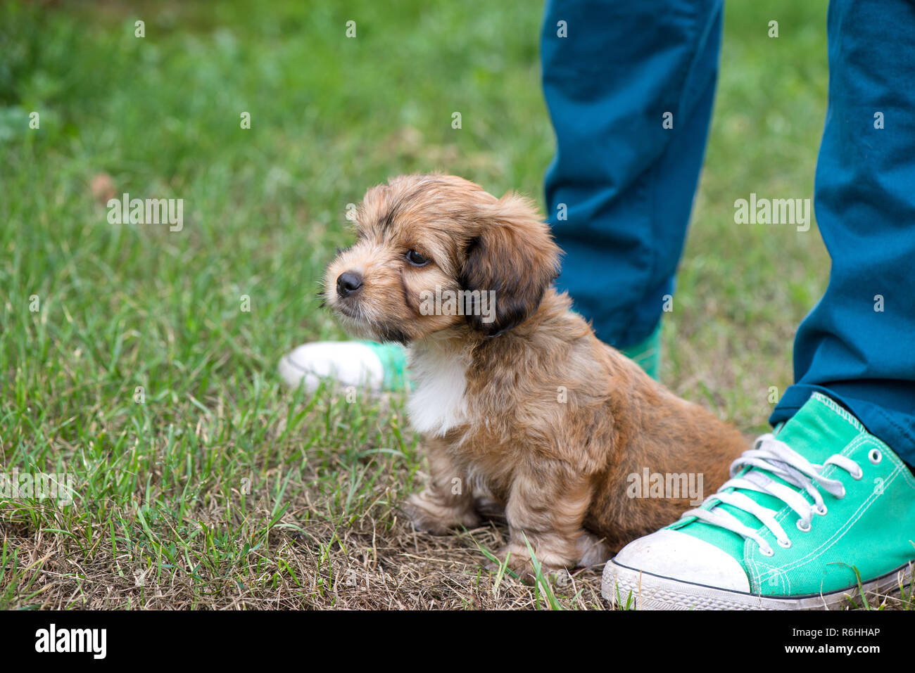 Little, lovely, fluffy, cute brown puppy playing outdoors with owner, obediently sitting. Happy dog in the park or garden on green background. Concept - Stock Image