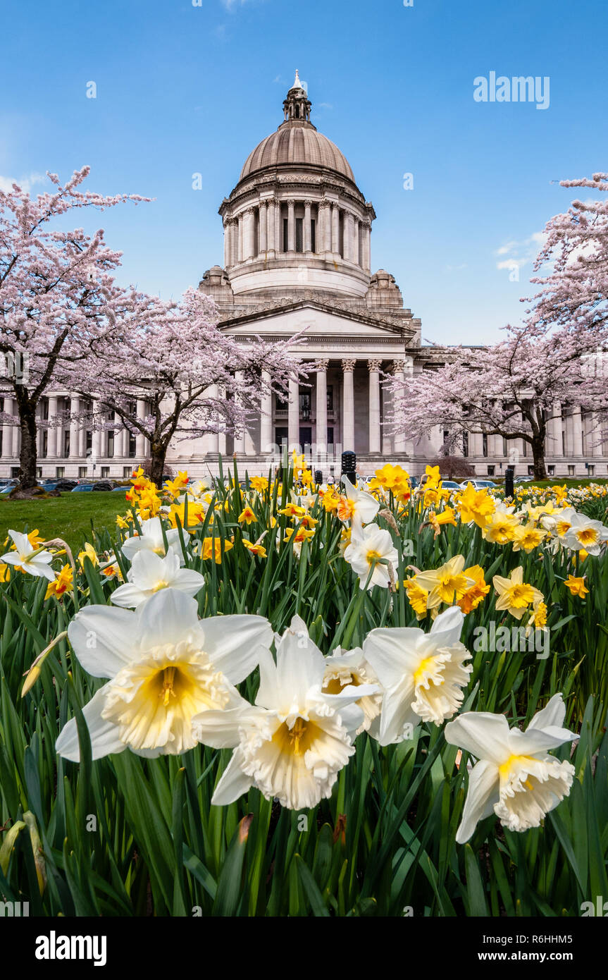 State Capitol Legislative Building with blooming daffodils and cherry trees in Olympia, Washington. - Stock Image