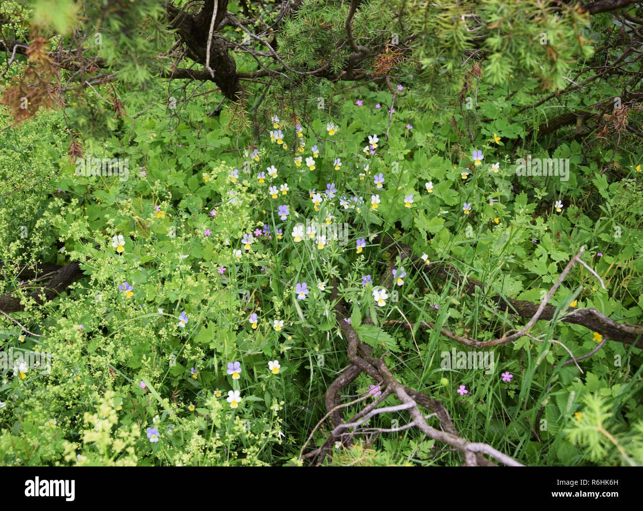 Wildflower viola tricolor. - Stock Image