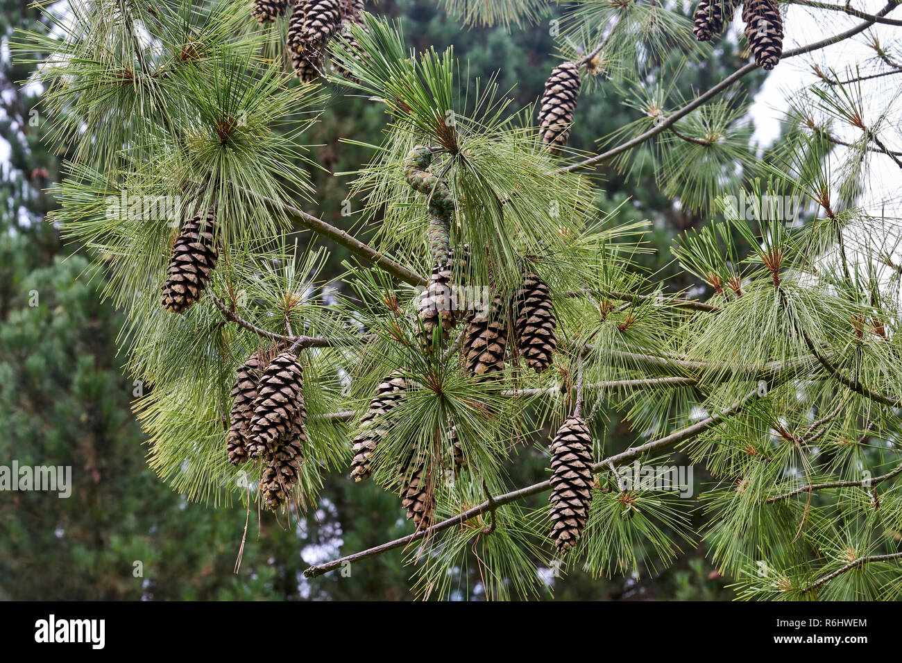 Himalayan Pine, Pinus wallichiana - mature open pine cones, brown and dry - Stock Image