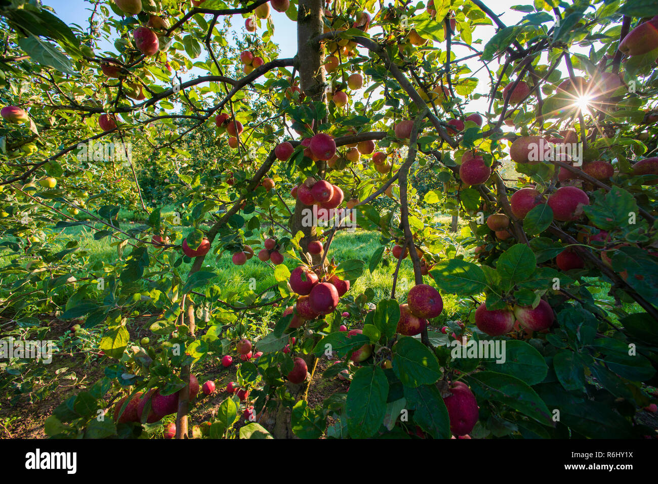 Coder Apples In Somerset, uk - Stock Image