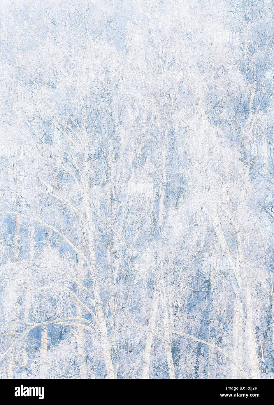 Frost bite on trees - Stock Image