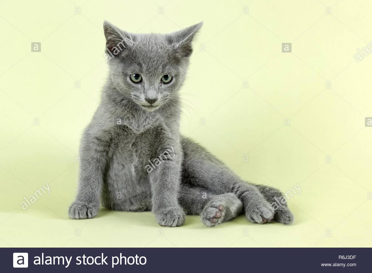 cat russian blue 33232 Stock Photo