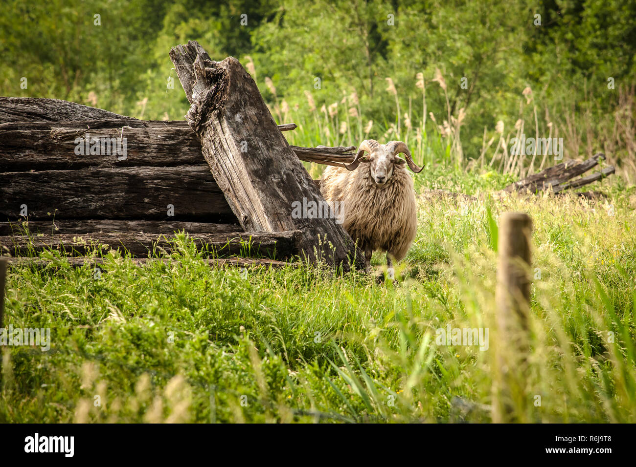 Raw and rough-looking scene with natural wild sheep looking from behind a pile of cut trees. Curious ram in a wild landscape with a natural environmen - Stock Image
