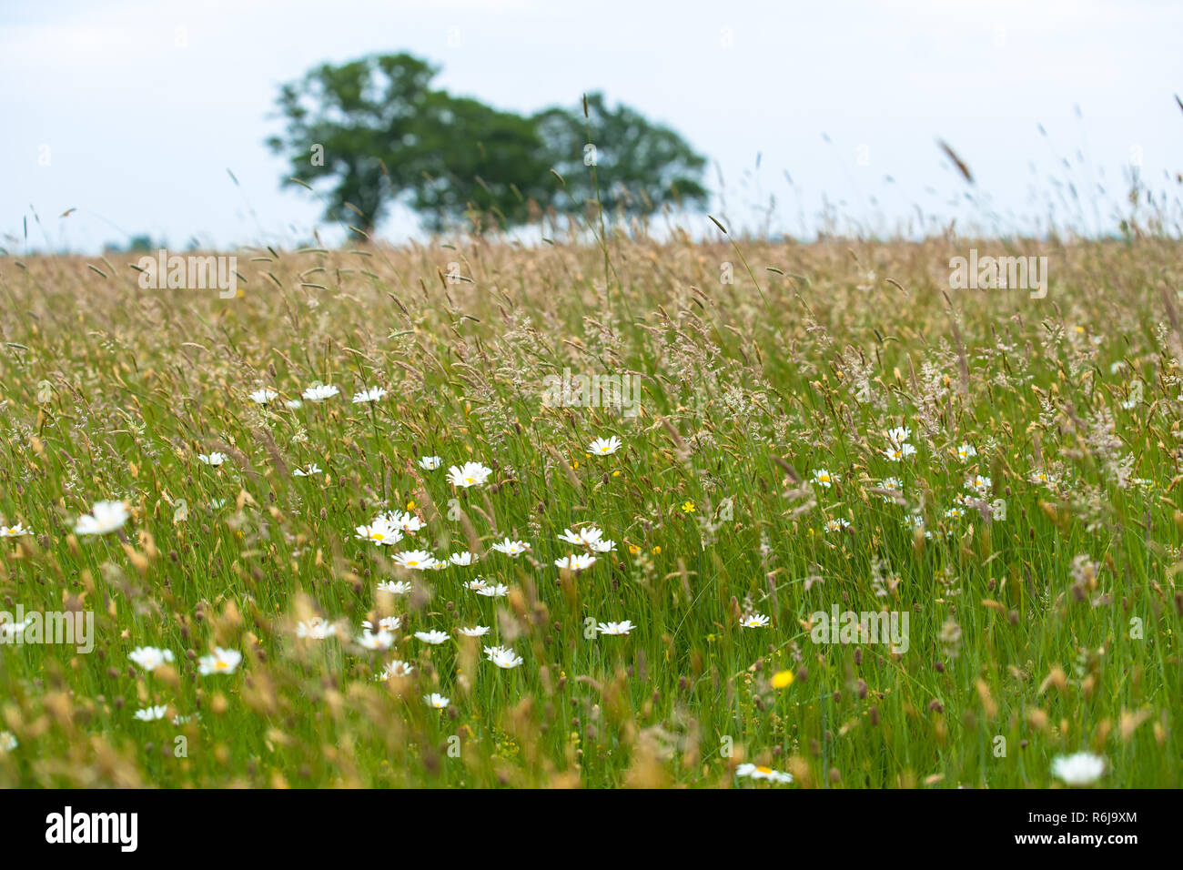 Views over a natural pasture with grasses, wild flowers and natural vegetation. On the horizon large green leafy trees on a sloping horizon. An old sa - Stock Image