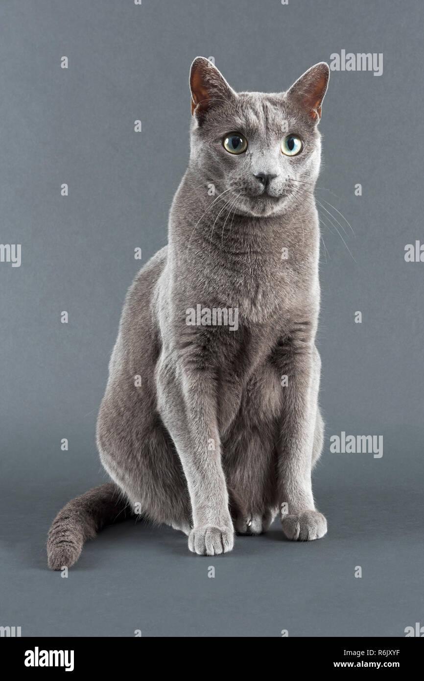 cat russian blue 33578b Stock Photo