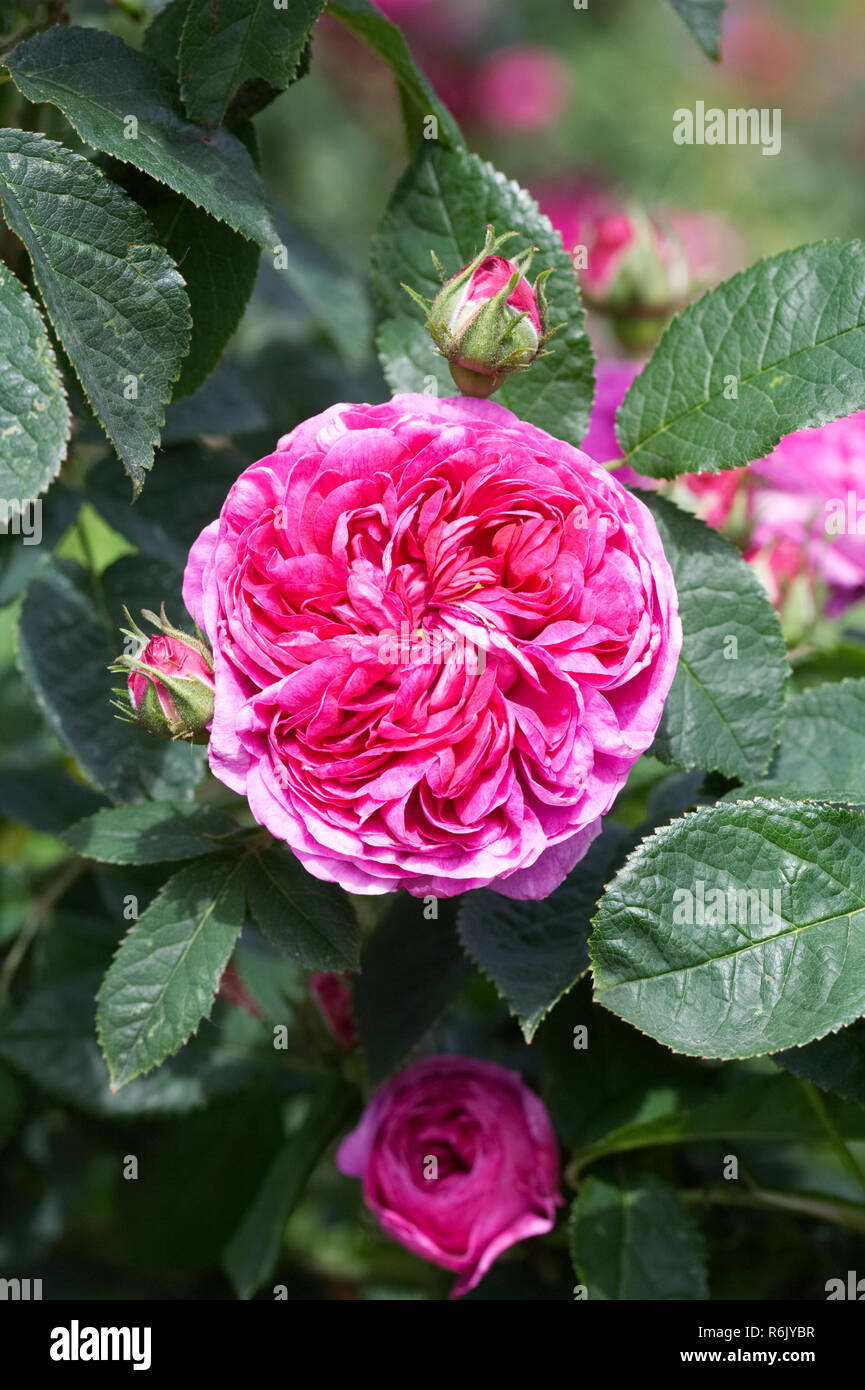Rosa 'Charles de Mills' flower. - Stock Image