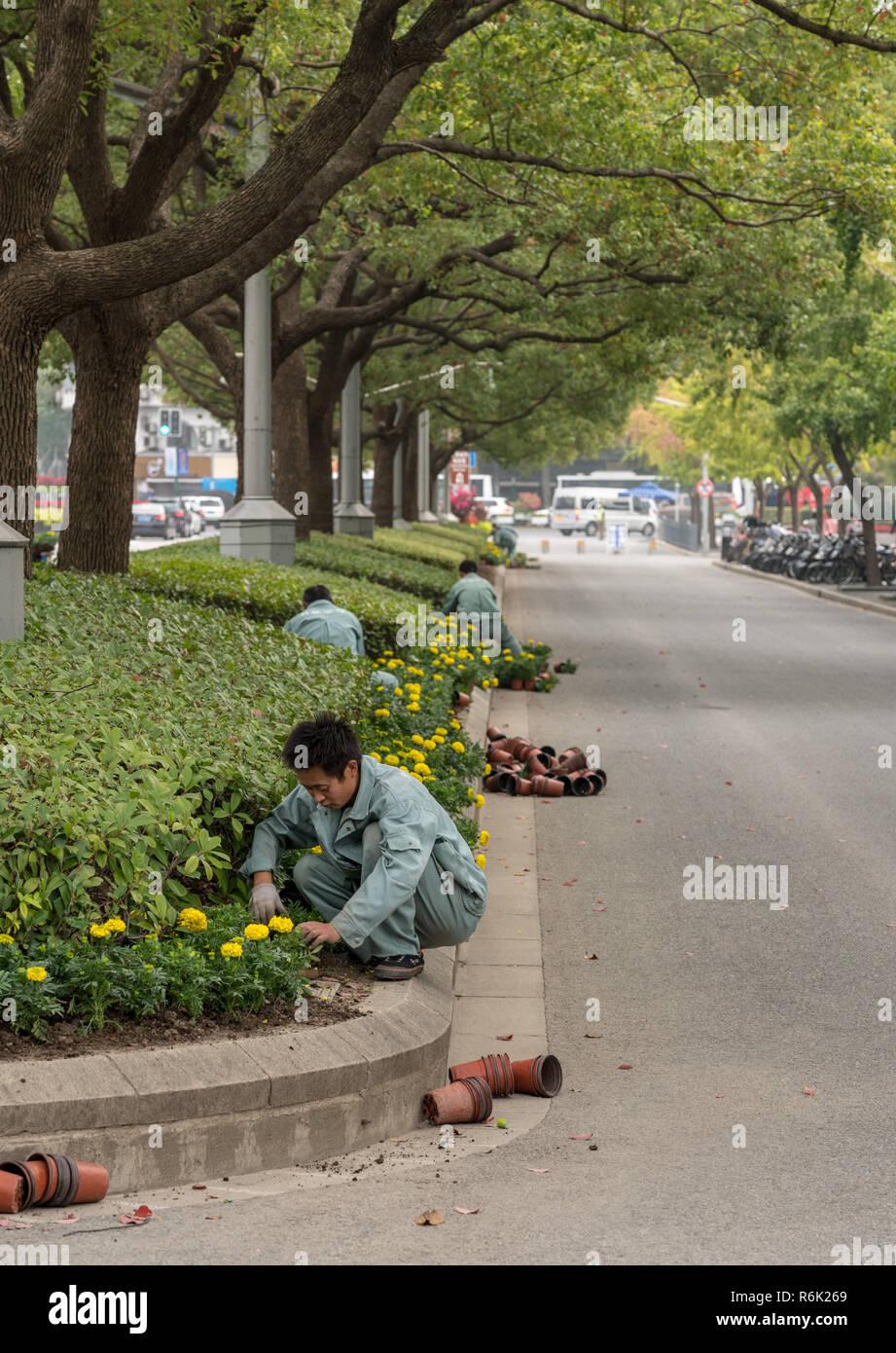 Workers planting flowers in road median in Shanghai - Stock Image