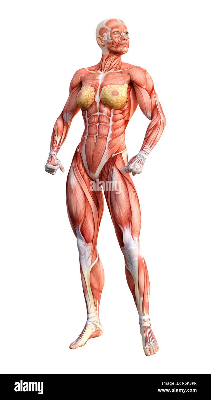 3d Rendering Female Anatomy Figure On White Stock Photo 227842799