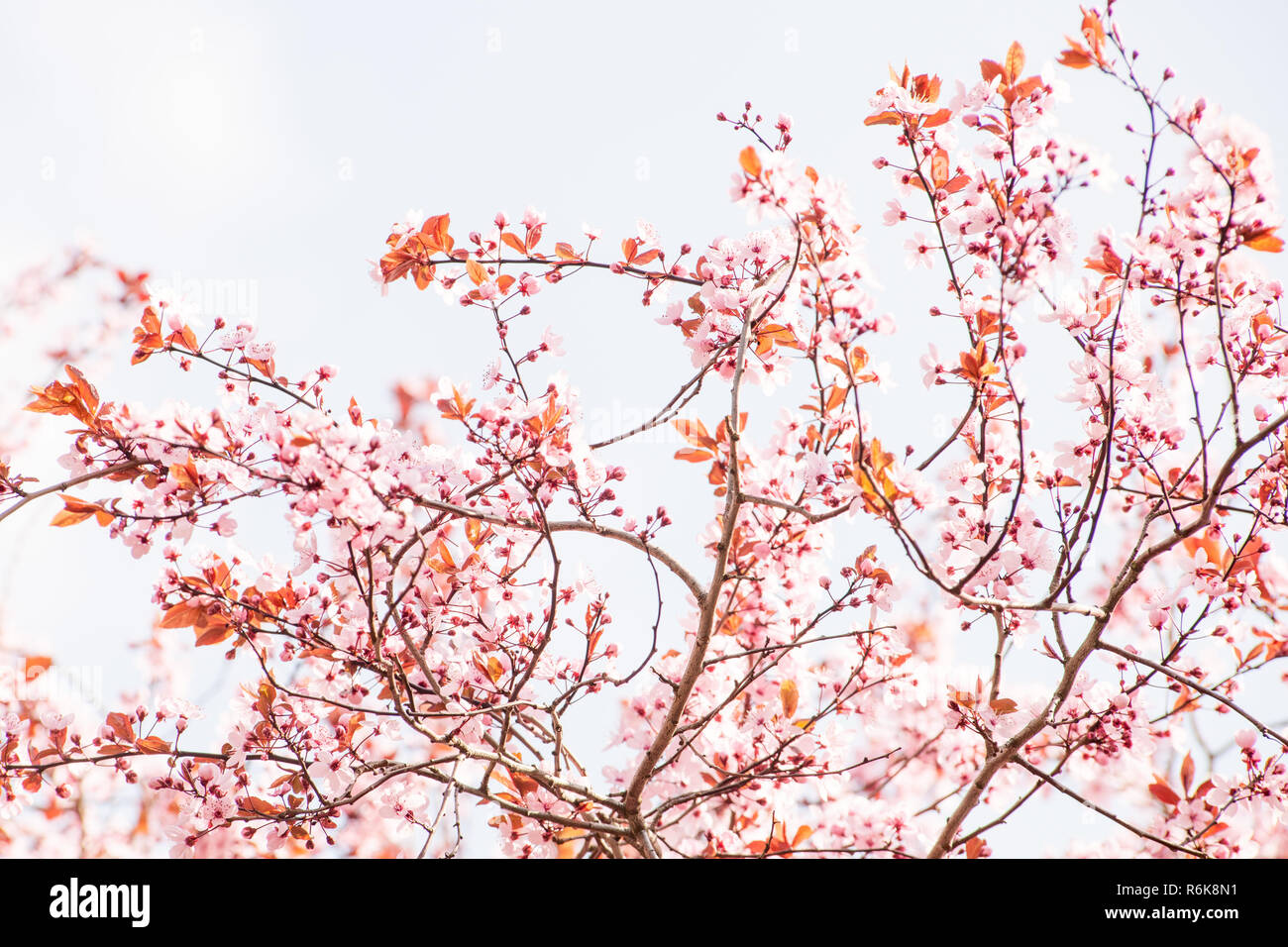 blooming spring tree on a light background - Stock Image