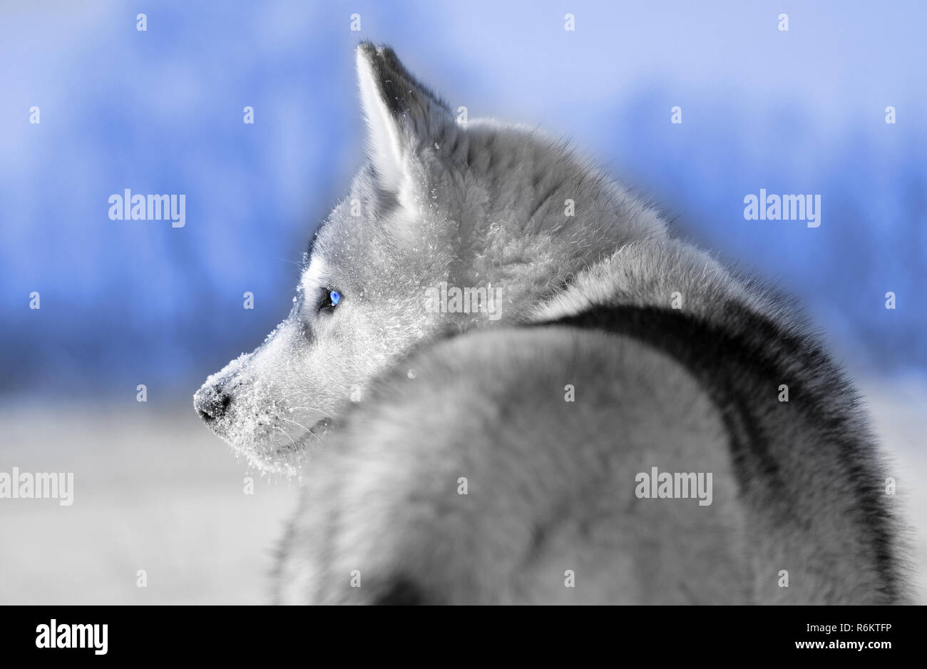 Siberian Husky Dog Puppy Gray And White Side Closeup Blue Eyes And