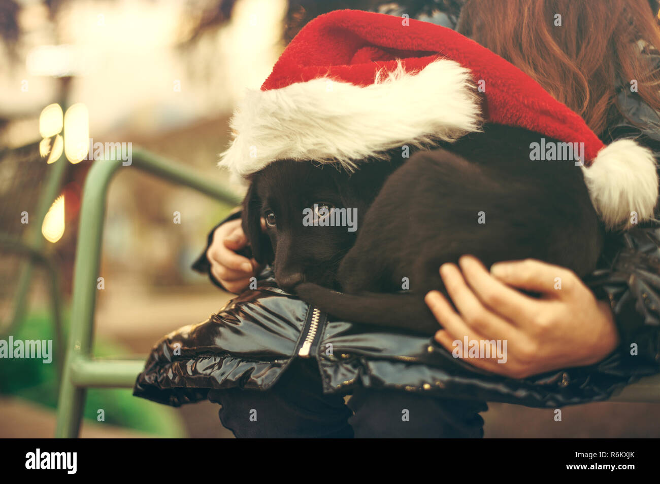 Child holds a black labrador puppy wearing a Santa Claus costume - Stock Image