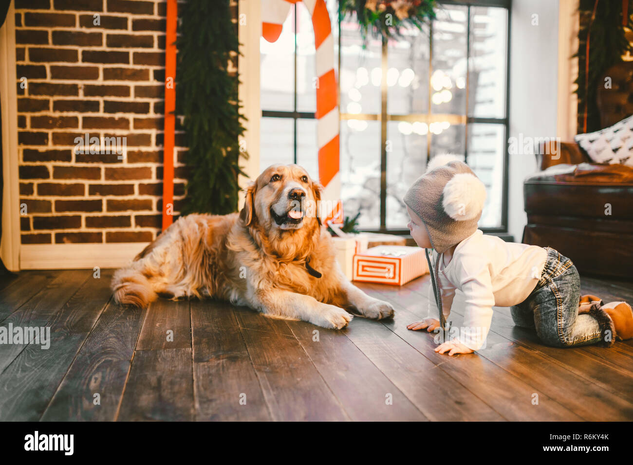 Friendship man child and dog pet. Theme Christmas New Year Winter Holidays. Baby boy crawling learns walk wooden floor decorated interior of house and best friend dog breed Labrador golden retriever - Stock Image