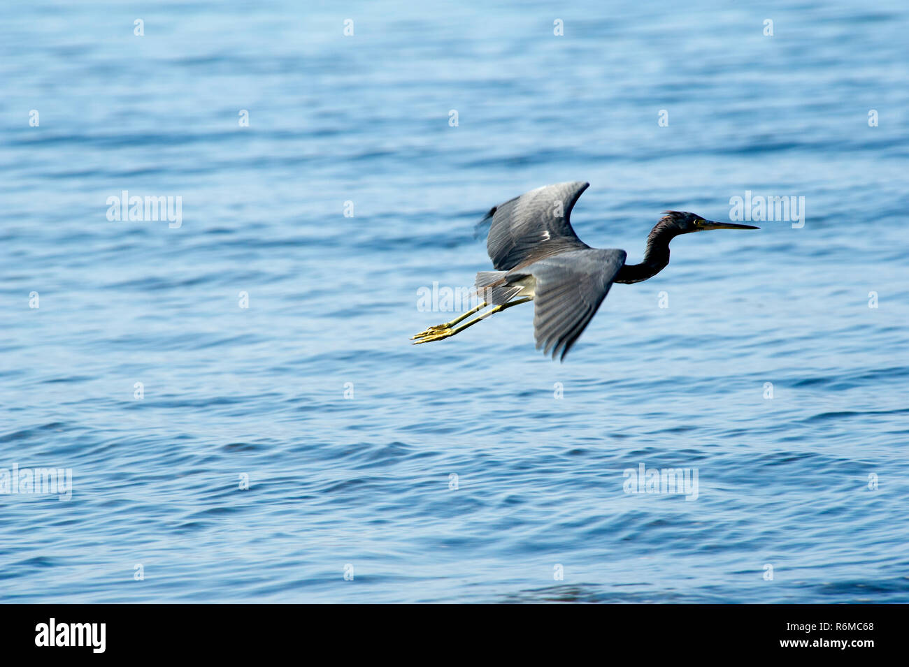 Tricolored Heron (Egretta tricolor) on a black sand beach at Papagayo Bay, Costa Rica. - Stock Image