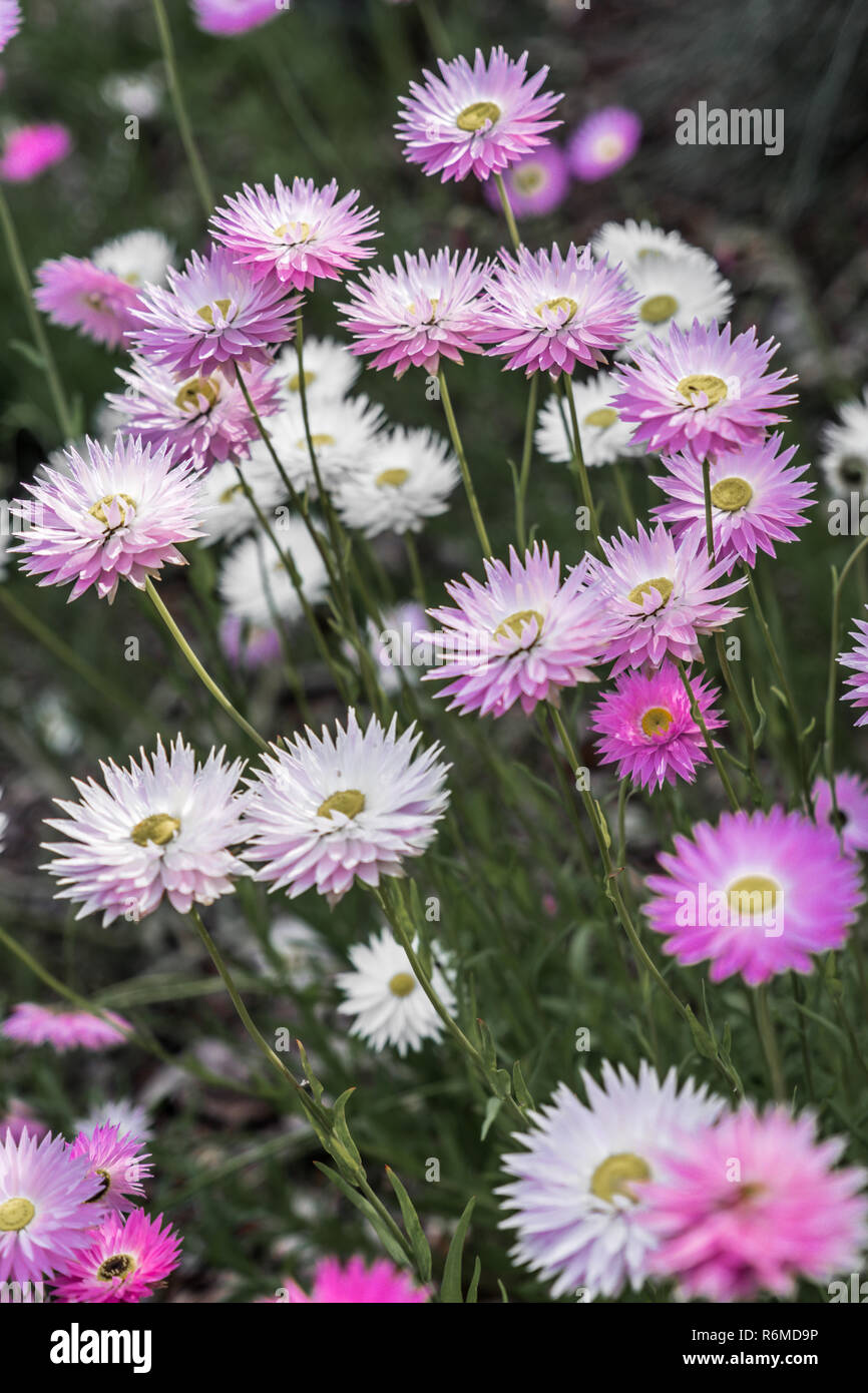 pink and white flowers - Stock Image
