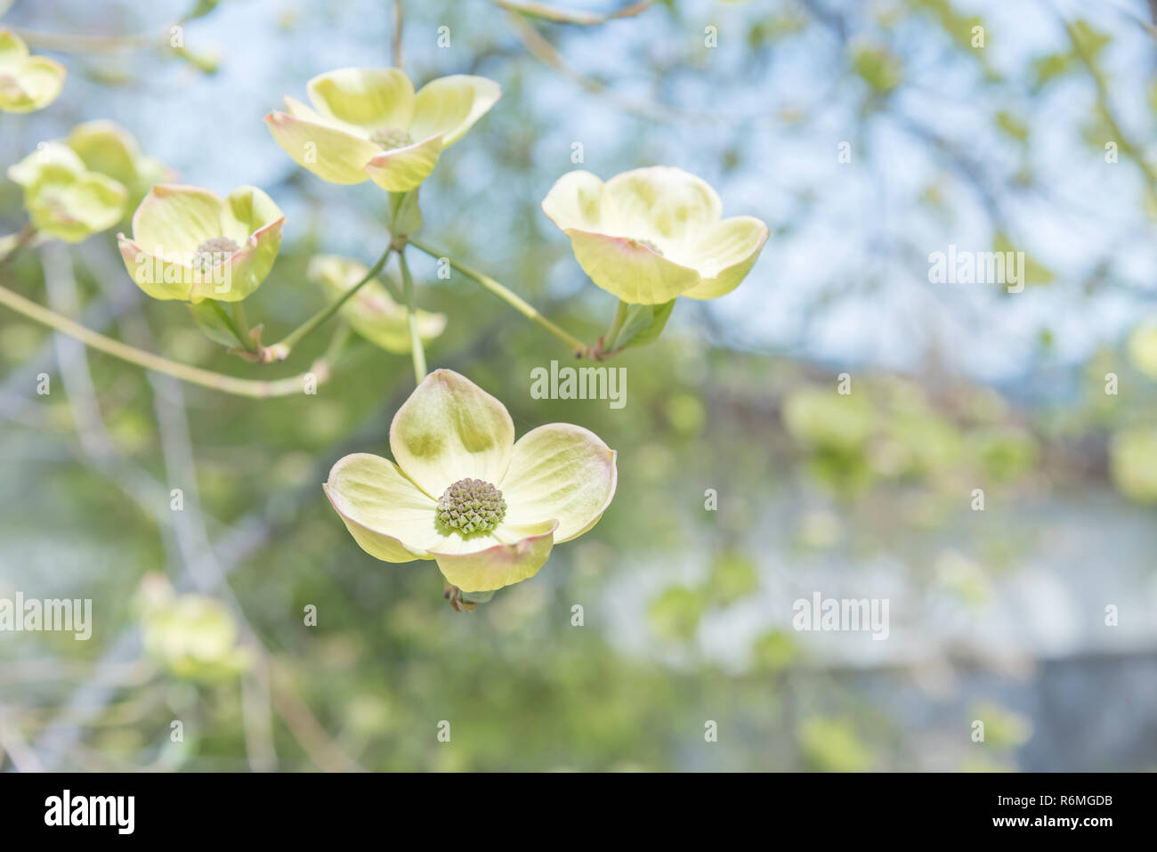 Close Up White Dogwood Flower On Branch In Springtime Stock Photo