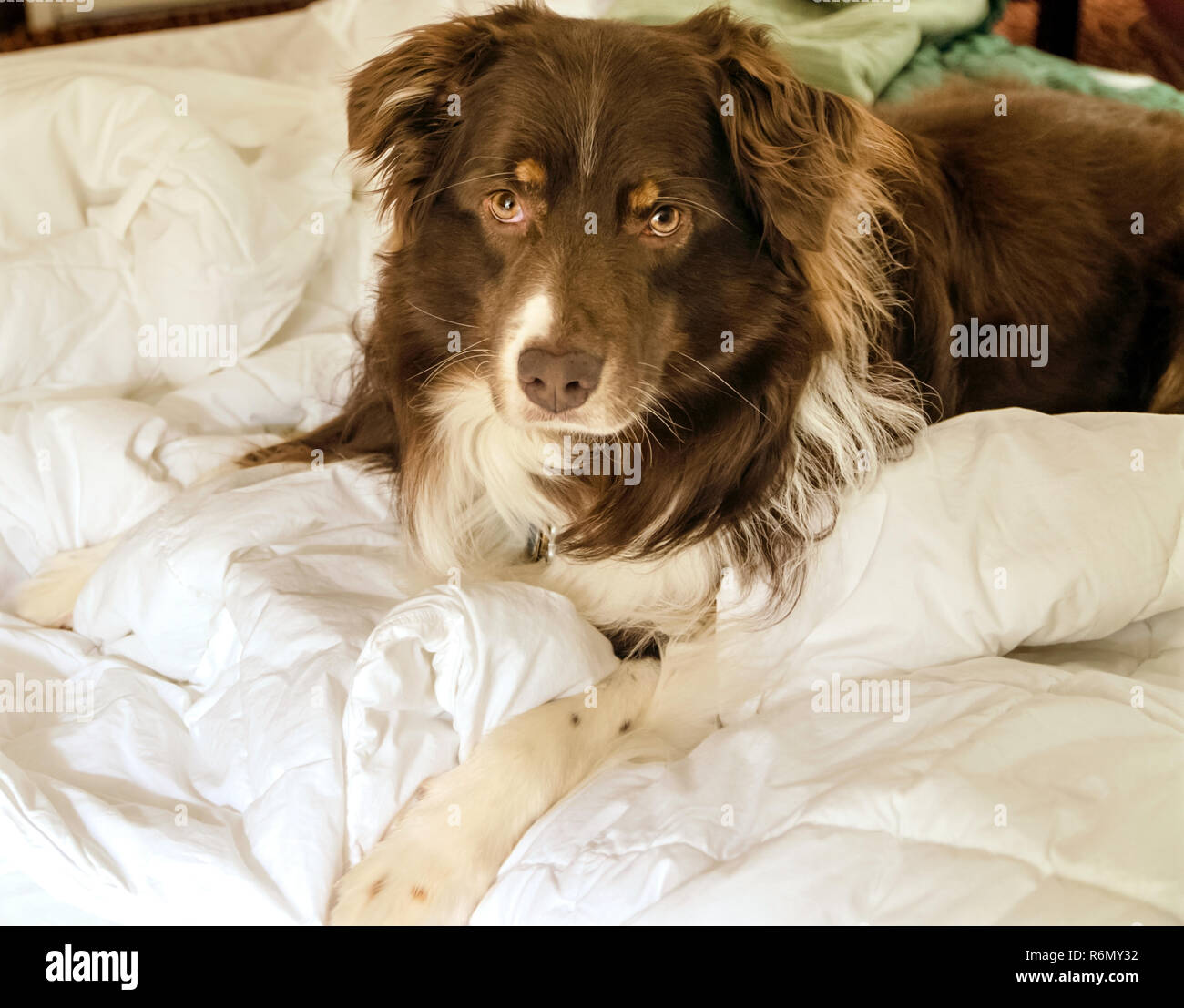 Cowboy A Six Year Old Australian Shepherd Relaxes In His Hotel