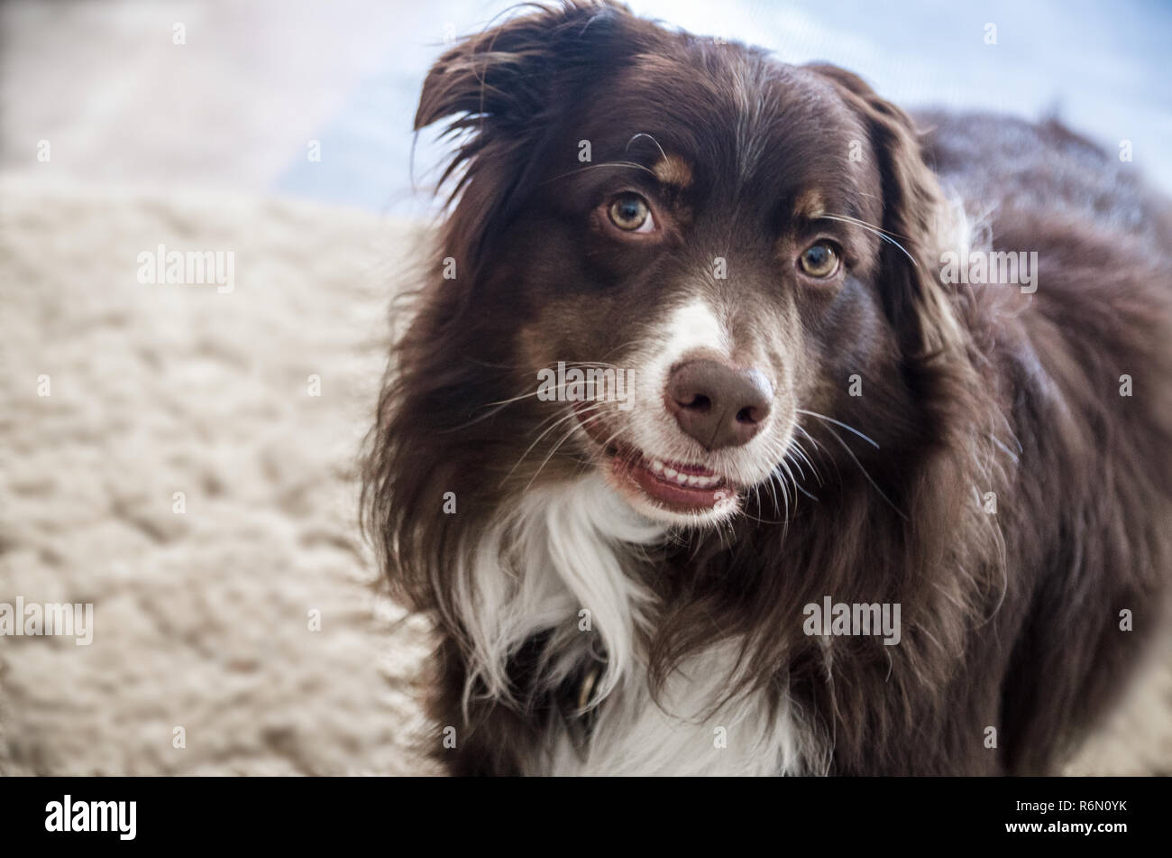 Cowboy, a five-year-old red-tri Australian Shepherd, demonstrates the Aussie 'smile.' - Stock Image