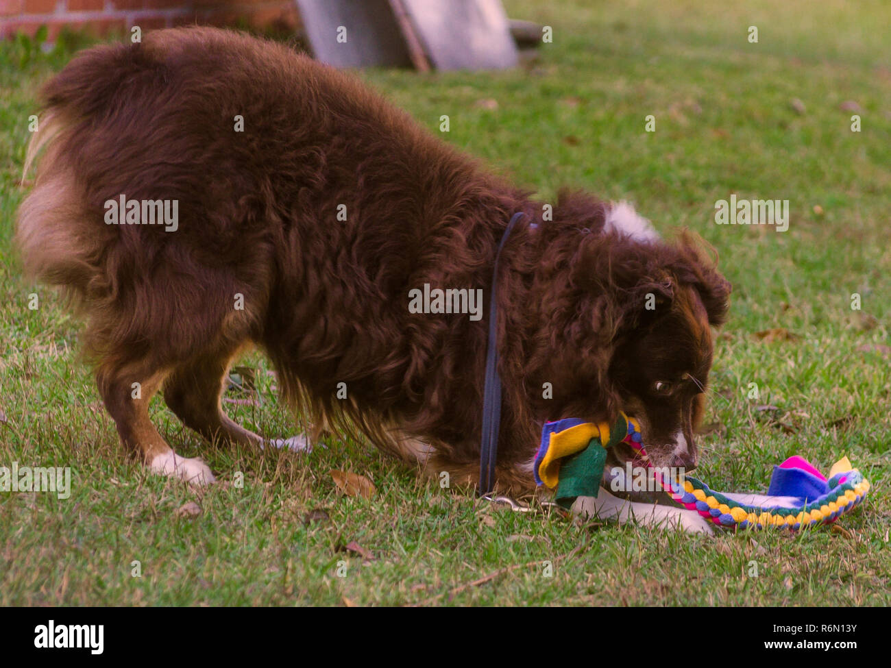 Cowboy, a red tri Australian Shepherd dog, plays with a braided rope toy, Oct. 29, 2015, in Coden, Alabama. - Stock Image