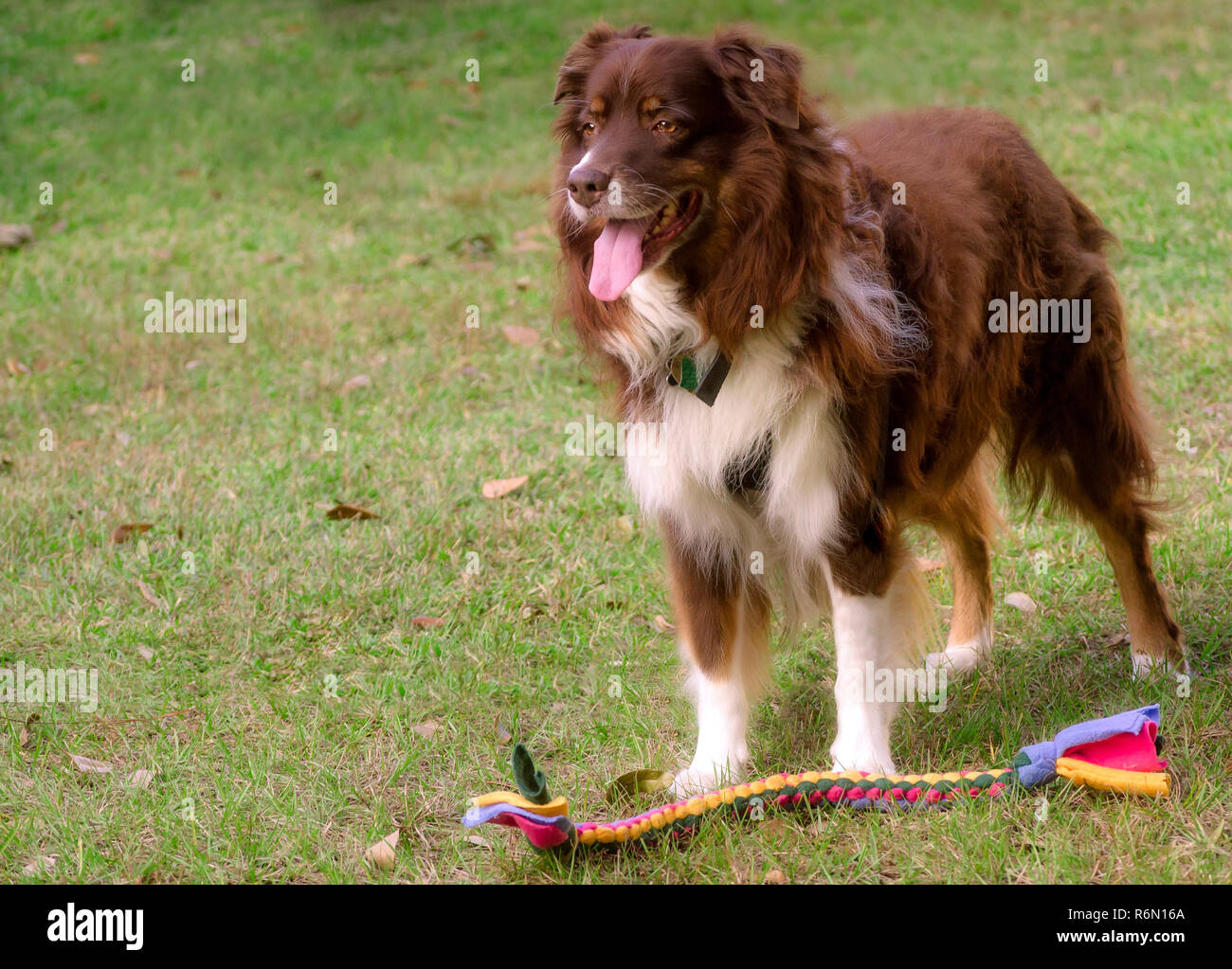 Cowboy, a red tri Australian Shepherd, stands with a braided tug toy, October 29, 2015, in Coden, Alabama. (Photo by Carmen K. Sisson/Cloudybright) - Stock Image