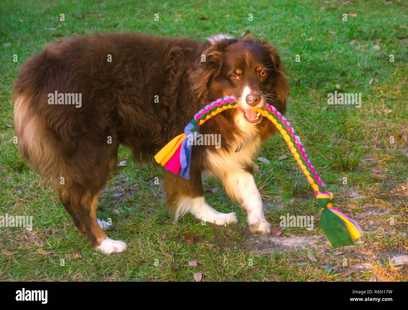 Cowboy, a red tri Australian Shepherd, plays with a braided tug toy, October 29, 2015, in Coden, Alabama. (Photo by Carmen K. Sisson/Cloudybright) - Stock Image