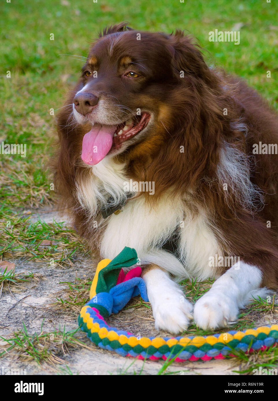 Cowboy, a red tri Australian Shepherd, plays with a braided tug toy, October 29, 2015, in Coden, Alabama. - Stock Image