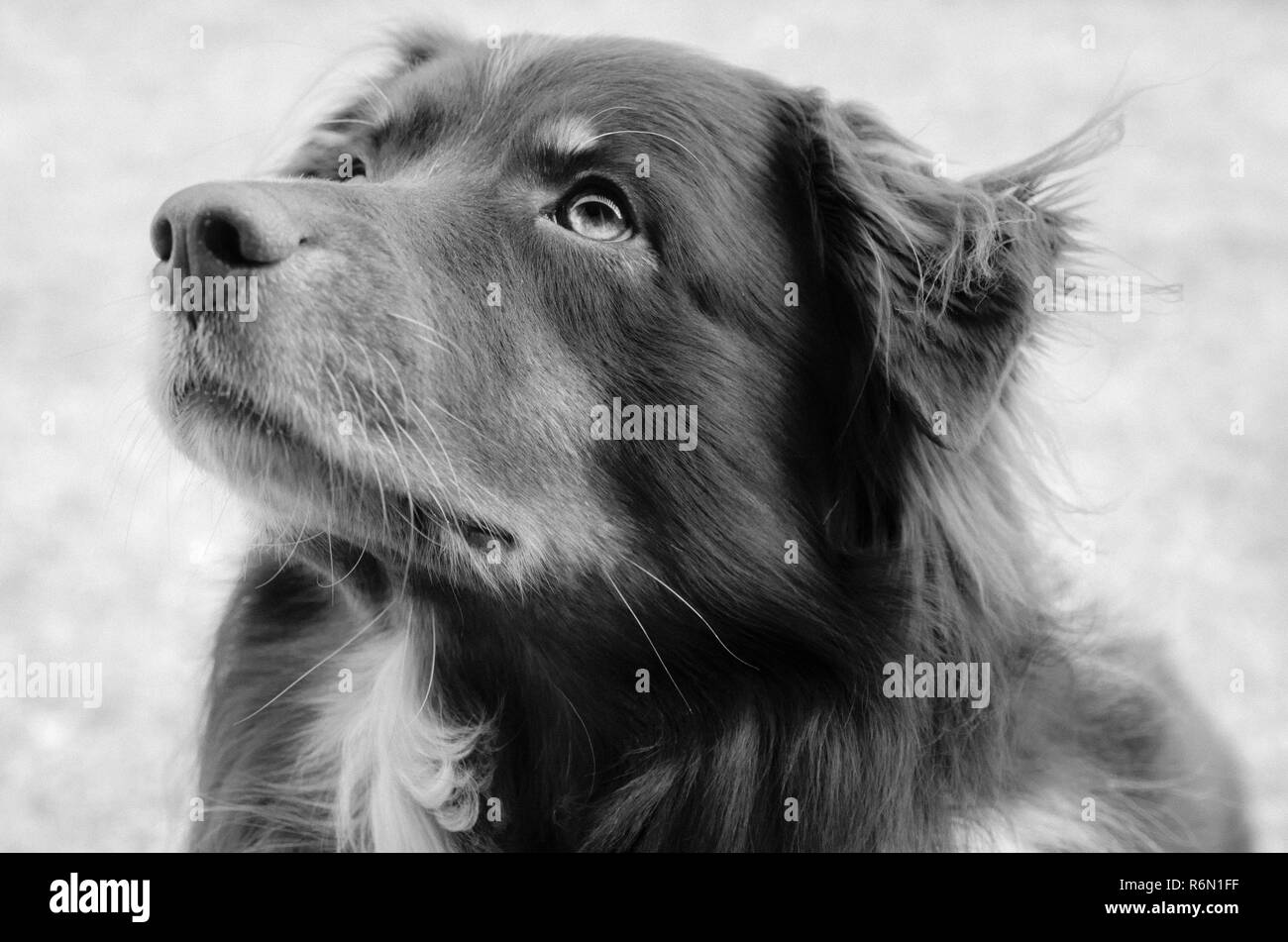 Cowboy, a five-year-old red-tri Australian Shepherd, is pictured in infrared, Nov. 12, 2013, in Coden, Alabama. (Photo by Carmen K. Sisson/Cloudybrigh - Stock Image
