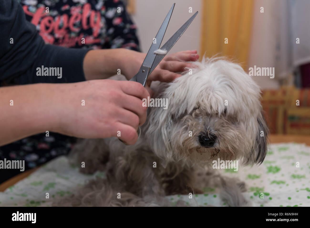 kleiner Hund beim Hundefriseur - Stock Image