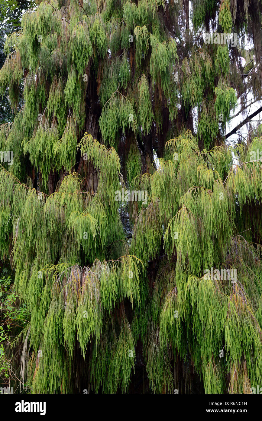 Dacrydium cupressinum,Rimu,New Zealand Rimu,evergreen,conifer,conifers,needles,leaves,coniferous,tree,trees,RM Floral - Stock Image