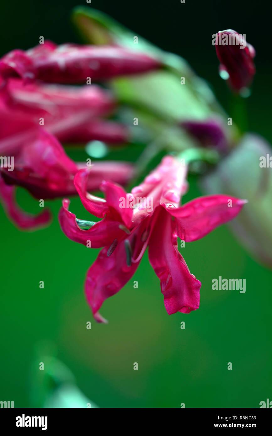 Nerine Companion Mr John,autumn,flowering, magenta,flowers,nerines,garden,RM Floral - Stock Image