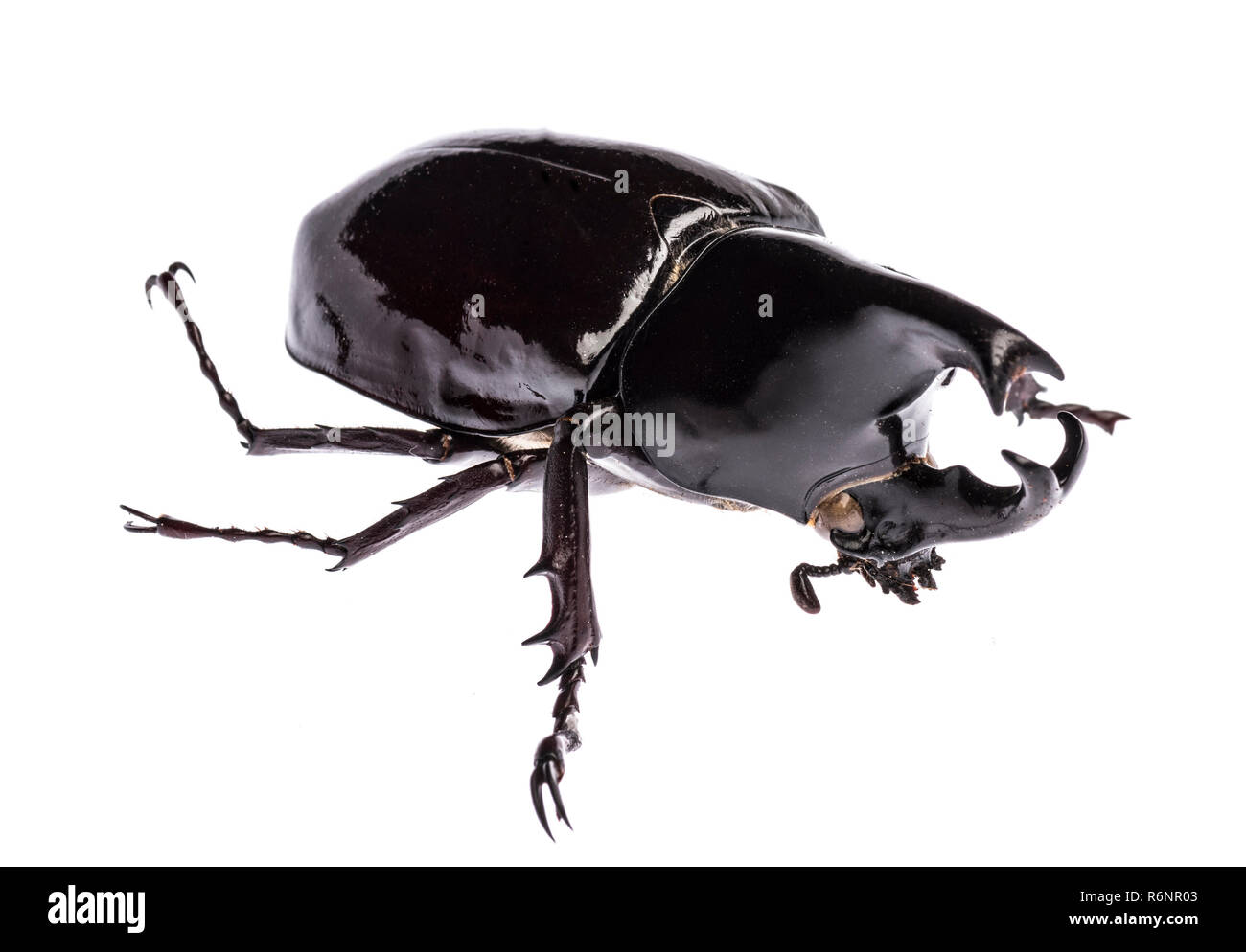 Rhinoceros beetle Xylotrupes gideon sumatrensis isolated - Stock Image