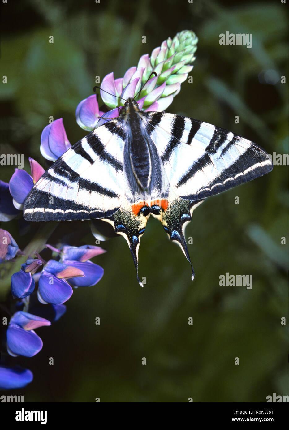 Segelfalter, Frühjahrsgeneration, mit geöffneten Flügeln auf Lupine Blüten. Scarce swallowtail with opened wings on lupin blossom. Stock Photo