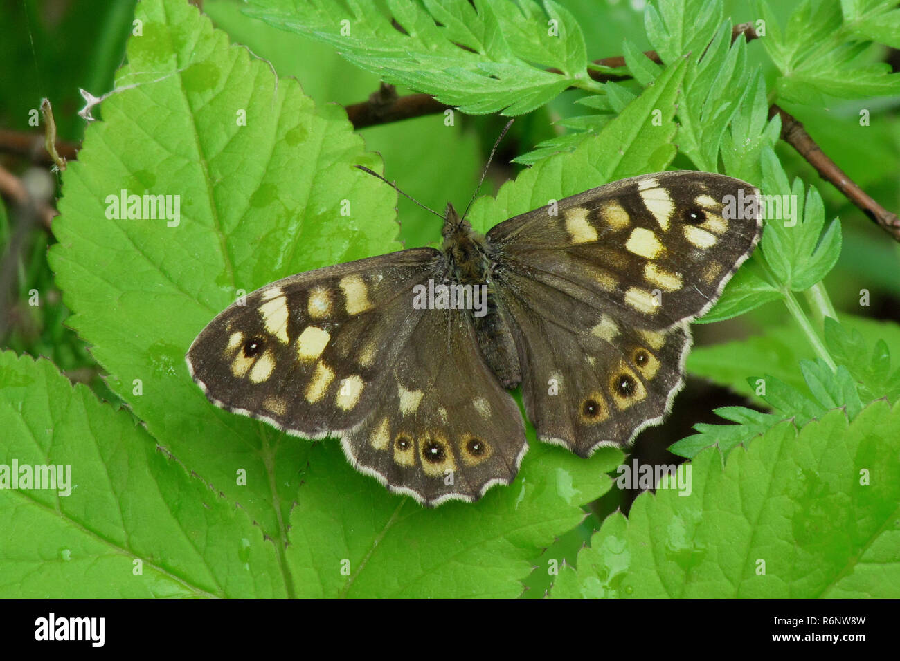 Waldbrettspiel, Pararge aegeria, Speckled wood Stock Photo