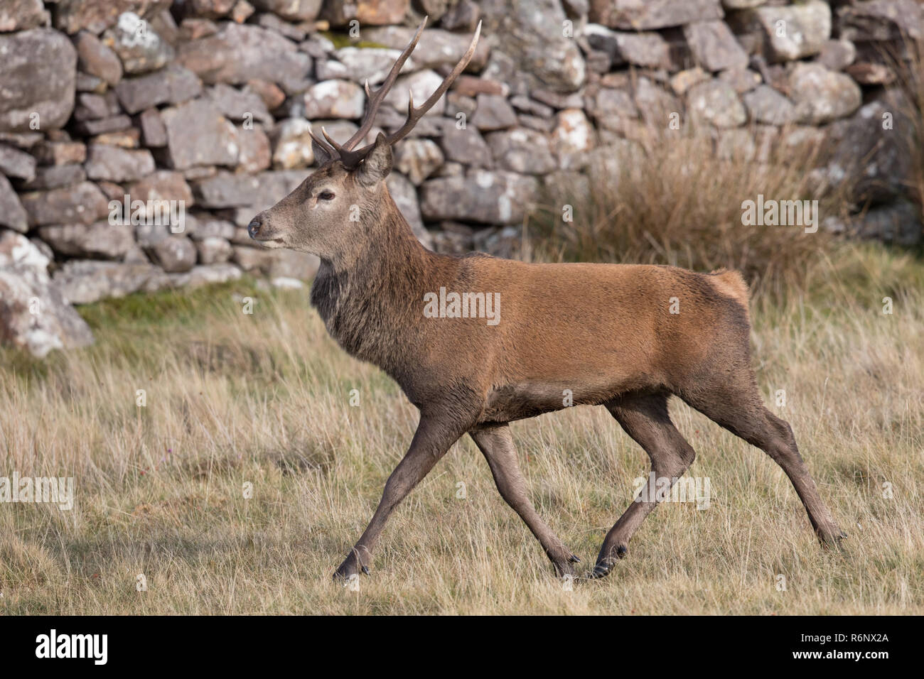 Red deer stag in the Highlands of Scotland Stock Photo