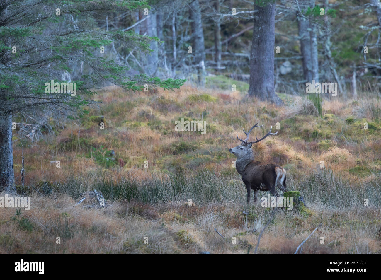 Red deer stags in the rutting season in the Scottish Highlands Stock Photo