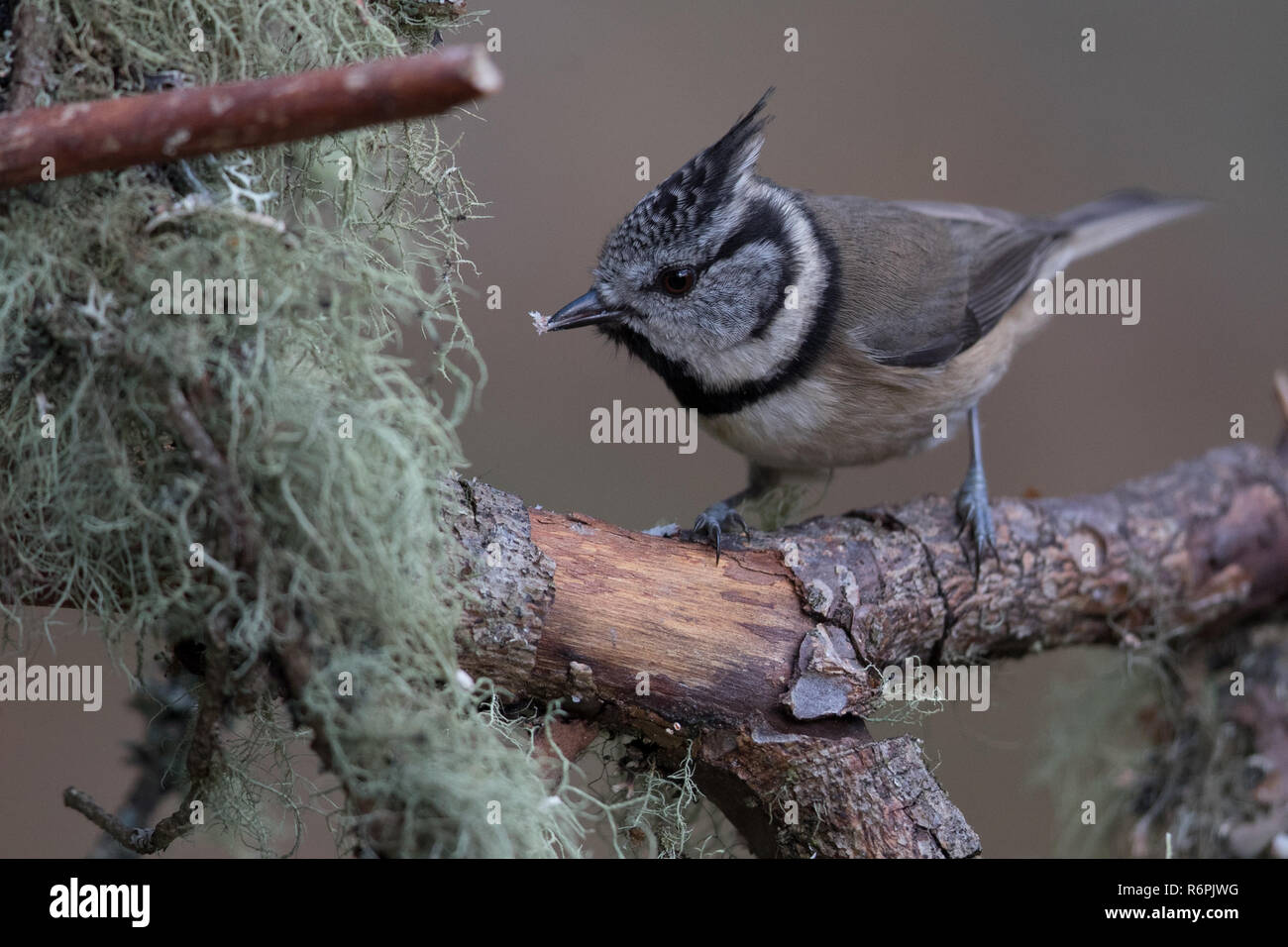 Crested tit in Abernethy Forest, Cairngorms National Park, Scotland Stock Photo