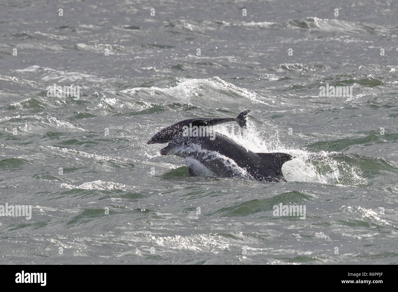 Bottlenose dolphin tossing 2 week old calf clear of the water in the Moray Firth, Scotland Stock Photo
