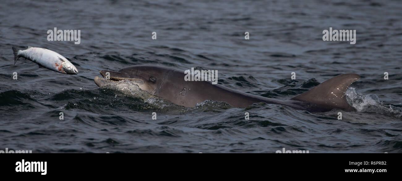 Bottlenose dolphin hunting Atlantic salmon in Scottish waters Stock Photo
