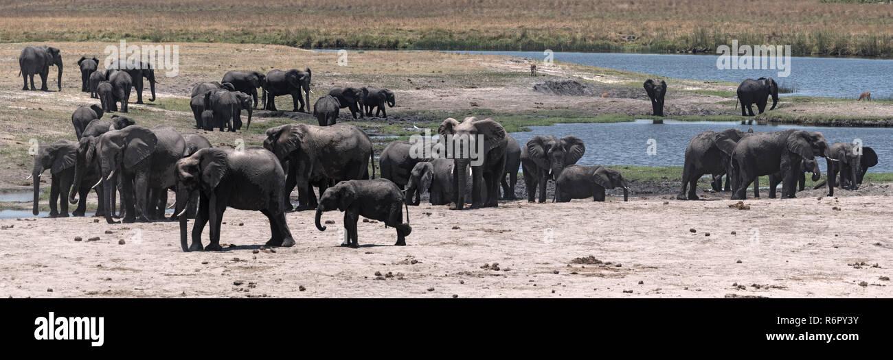 Elephant group on the Chobe River Front in Chobe National Park, Botswana - Stock Image