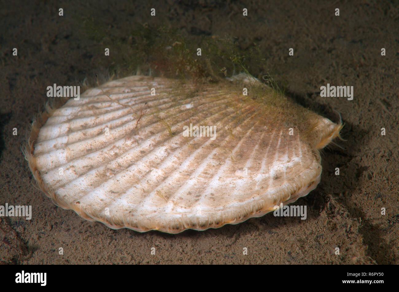 Yesso scallop, Giant Ezo scallop, or Ezo giant scallop (Mizuhopecten yessoensis) Sea of Japan, Rudnaya Pristan, Far East, Primorsky Krai, Russia Stock Photo